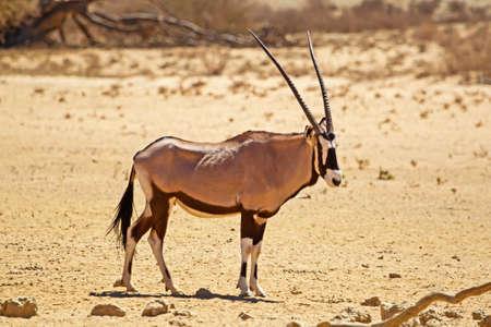 Gemsbok in Kalahari during drought