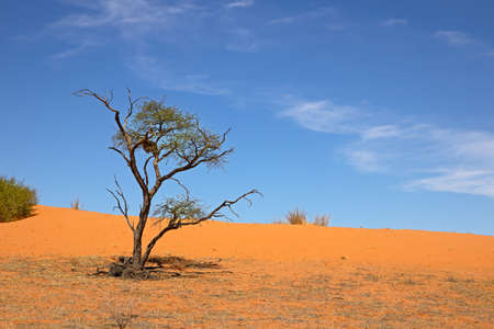 Beautiful landscape of acacia tree, dune and wispy cloud in sky in Kalahari, Northern Cape, South Africa
