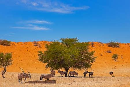 Small herd of Gemsbok at waterhole next to large dune in Kalahari, Northern Cape, South Africa Stock Photo