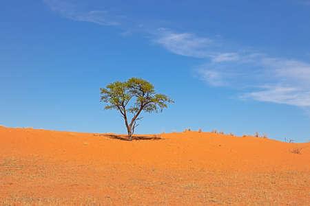 Landscape of small tree and sand dune in Kalahari Desert, Northern Cape, South Africa Reklamní fotografie
