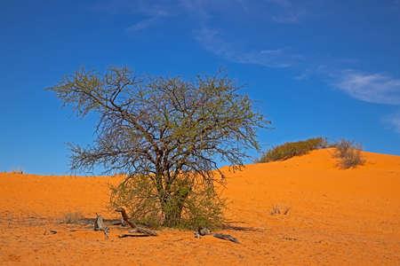 Acacia tree growing on dune in Kalahari Desert, Northern Cape, South Africa