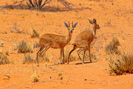 Female steenbok attracting male by defecating Imagens
