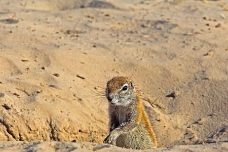 Alert Ground Squirrel looking out for danger Stockfoto