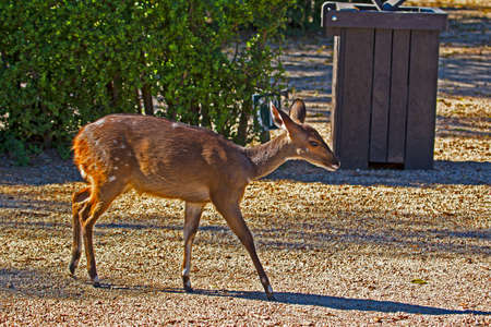 Timid female bushbuck in campsite at Addo Elephant Park, Eastern Cape, South Africa