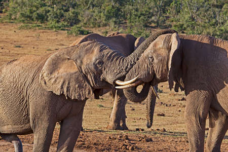 Dominant bull elephant socializing at waterhole in Addo Elephant Park, South Africa