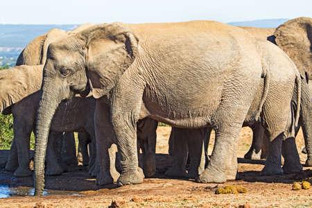 Grand éléphant femelle buvant au point d'eau avec de l'eau qui s'écoule de la bouche à Addo Elephant Park, Eastern Cape, Afrique du Sud Banque d'images
