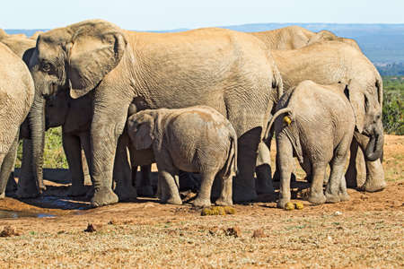 Baby elephant suckling and drinking milk from mother in Addo Elephant Park, Eastern Cape, South Africa