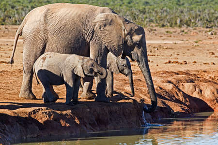 Large female elephant and two baby elephants drinking at waterhole in Addo Elephant Park, Eastern Cape, South Africa Banco de Imagens