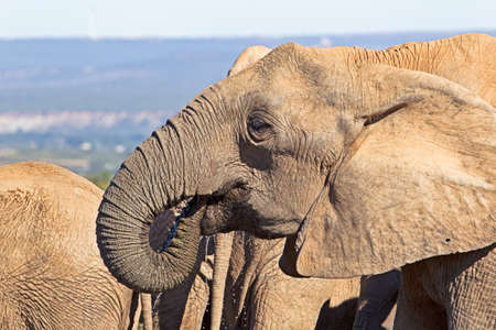 Female elephant drinking with trunk in mouth in Addo Elephant Park, Eastern Cape, South Africa Banco de Imagens