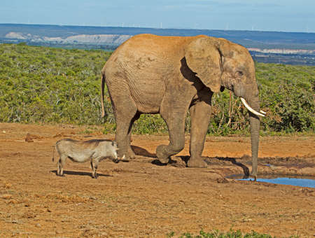 Warthog watching large elephant drinking at waterhole in Addo Elephant Park, Eastern Cape, South Africa