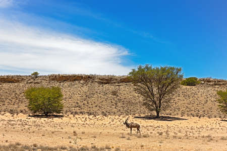 Landscape of kudu, trees, cliff and cloud in Kgalagardi Game Reserve, Northern Cape. South Africa
