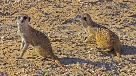 Two alert meerkat watching for danger in sandy Kalahari, Botswana Banco de Imagens