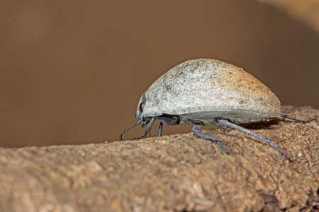 Macro photograph of small gray Tortoise beetle on tree branch