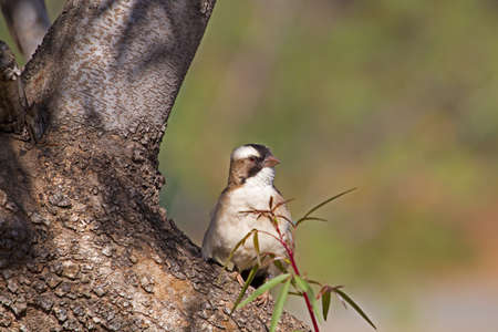 White-browed Sparrow Weaver bird sitting on tree trunk, Mountain Zebra Park, Eastern Cape, South Africa Banco de Imagens