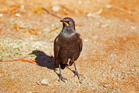 African Pied Starling standing on ground in Mountain Zebra Park, Eastern Cape, South Africa