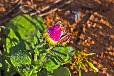 Close-up of partially open pink, white and yellow daisy covered in early morning dew in Western Cape, South Africa Banco de Imagens