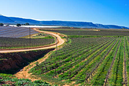 Landscape of young vineyards with winding dirt road and mountains in distance near Oliphants River, Western Cape, South Africa Banco de Imagens