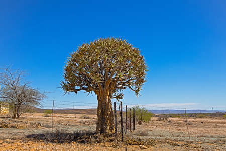 Old quiver tree growing next to a fence in Karoo region of Northern Cape, South Africa