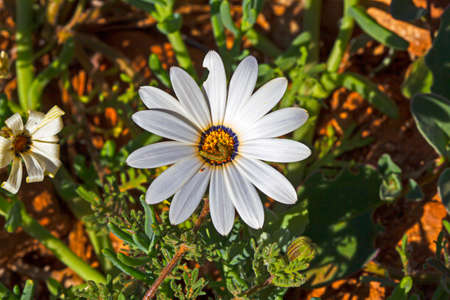 Close-up of white daisy wildflower with small worm in Western Cape, South Africa Banco de Imagens