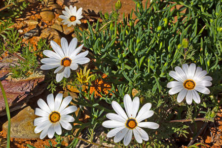 White daisy spring wildflowers with yellow centers growing among a succulent plants in Western Cape, South Africa