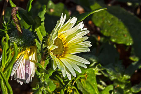 Yellow and white daisy wildflower opening in early morning, Western Cape, South Africa Banco de Imagens