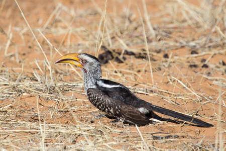 Large Yellow billed hornbill bird in Kalahari region of Northern Cape