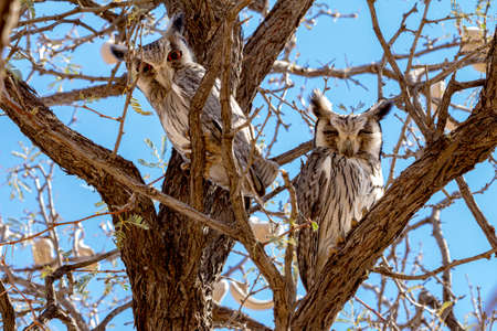 Two White faced Scops Owls resting in Acacia Tree is South Africa Banco de Imagens