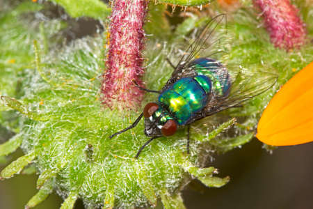 Brightly colored banded blowfly on flower
