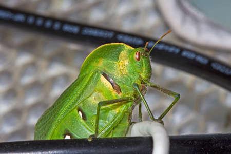 Green Bladder grasshopper peering over ledge