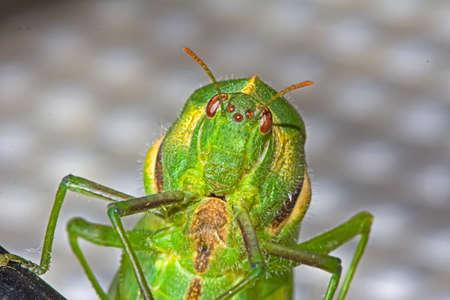 Close-up of head of green Bladder Grasshopper Banco de Imagens