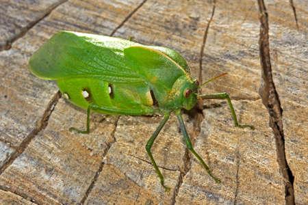 Side view of Bladder Grasshopper on rough plank Banco de Imagens