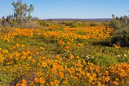 Mass of orange wildflowers in Tankwa Karoo Banco de Imagens
