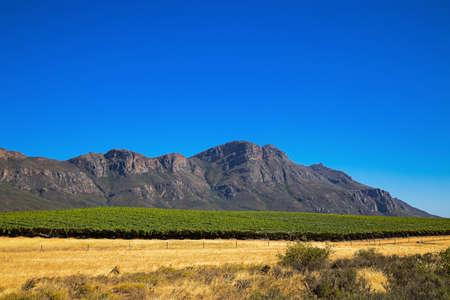 Large vineyard below Piketberg Mountain