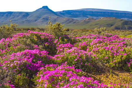 Landscape of pink flowers against green mountains