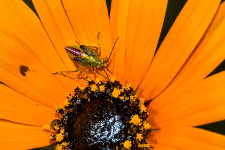 Tiny thrip insect on orange spring wildflower