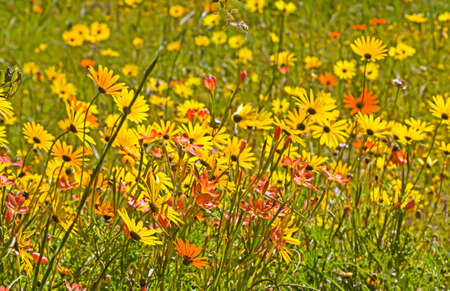 Mass of yellow and red spring wildflowers Banco de Imagens