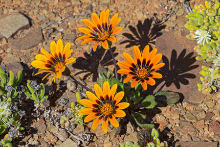 Orange arctotis wildflowers growing in rocky soil