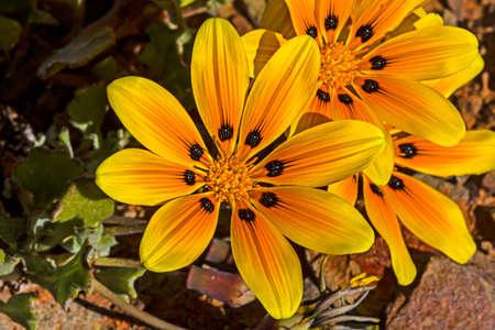 Close-up of orange gazania wildflower in Karoo