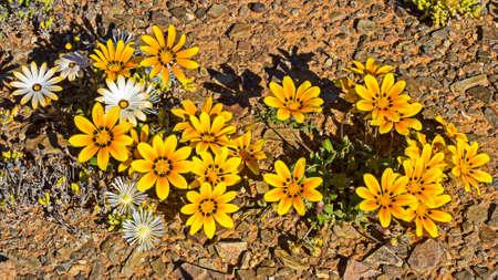 Cluster of Gazania wildflowers in Tankwa Karoo Banco de Imagens