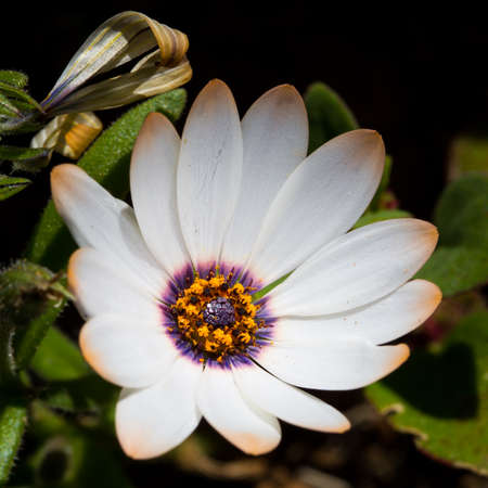 Daisy wildflower with orange and white petals