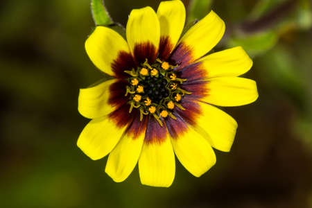Tiny spring wildflower with yellow and red petals