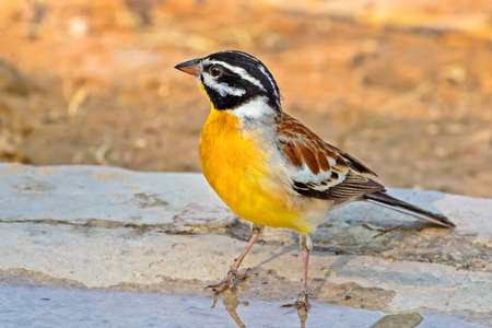 Brightly colored Golden-breasted Bunting bird