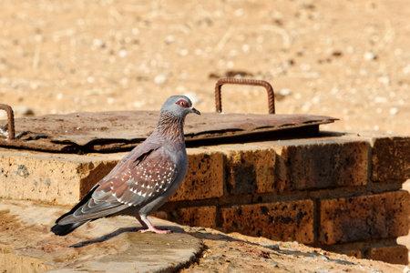 Speckled Pigeon bird at waterhole