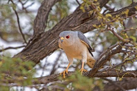 Watchful Red-eyed Goshawk bird in tree Banco de Imagens