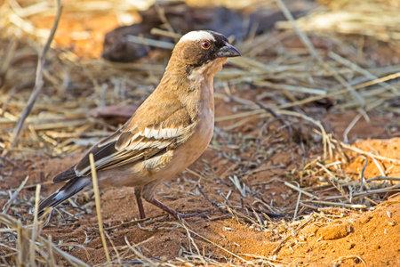 Alert White-browed Sparrow-weaver bird Banco de Imagens