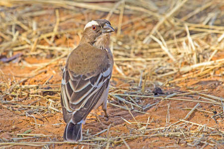 White-browed Sparrow-weaver bird looking back