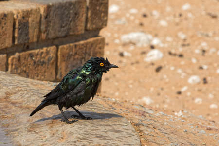 Glossy Starling bird after bathing