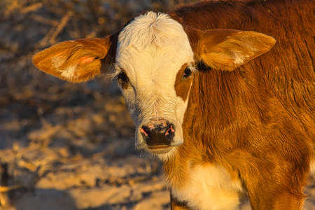 Red-haired calf with white head at dusk