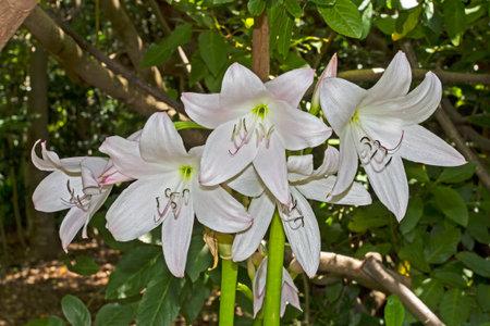 Cultivated River Lily in Kirstenbosch Gardens Banco de Imagens