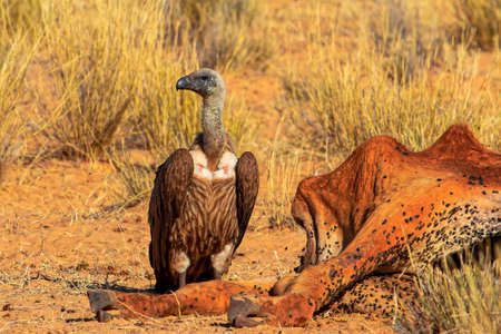 Cape Vulture standing next to cow carcass
